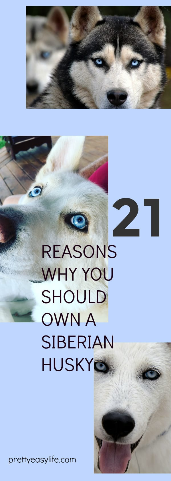 Siberian Husky - 21 reasons you should own one
