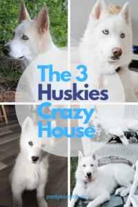 The 3 huskies crazy house