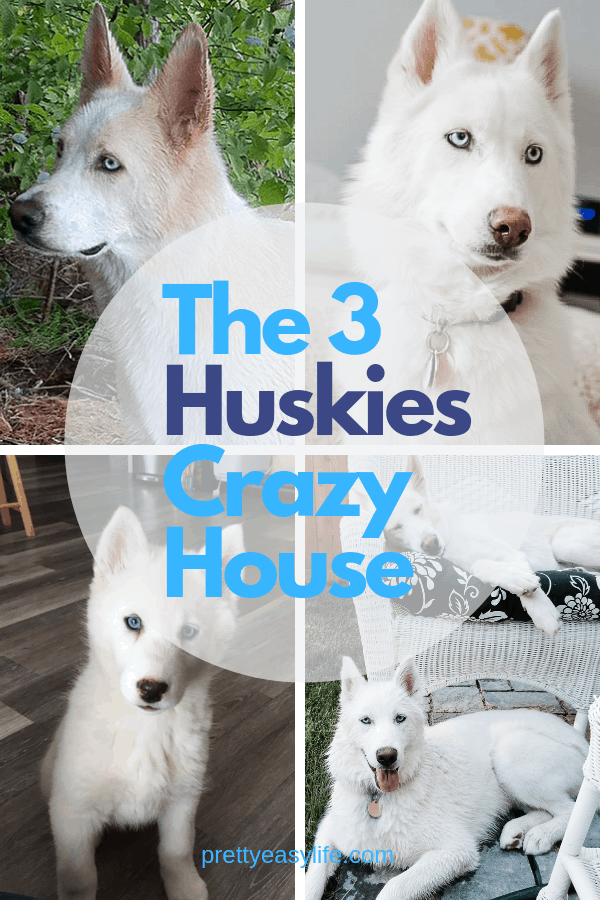 The 3 huskies crazy house