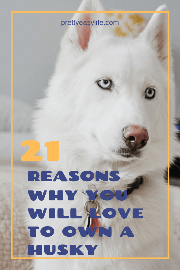 21 reasons why you will love to own a husky