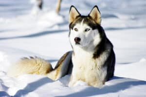 Husky facts will you love