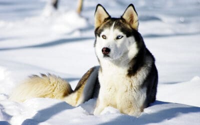 21 Reasons Why you Should Own a Husky [updated]