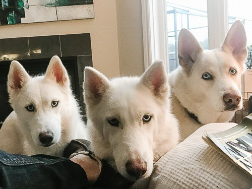 Own a Husky Facts
