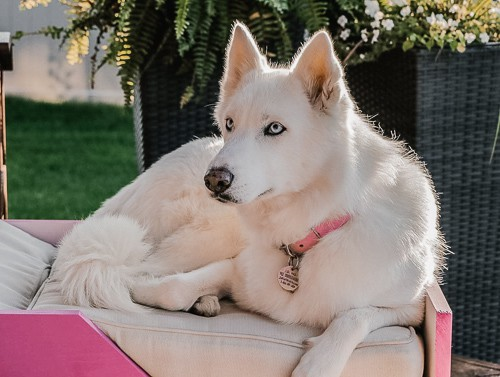 Must know Facts for People Planning to own a Husky